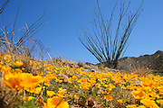 Mexican poppies, (Argemone mexicana), grow in the grasslands in the foothills of the Santa Rita Mountains of the Coronado National Forest in the Sonoran Desert near Green Valley, Arizona, USA.