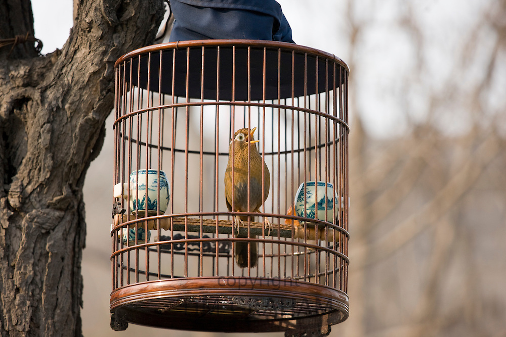 Laughing Thrush hanging in a cage in a park, central Xian, China