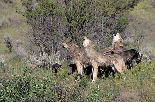 Gray Wolf, (Canis lupus) Pack of adult with pups. Howling. Rocky mountains. Montana. Captive Animal.