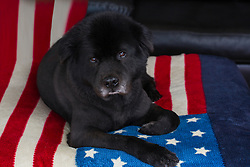 black Chow Labrador dog relaxing at home on an American Flag blanket
