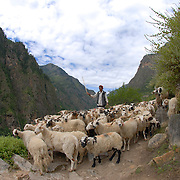 Traffic jam, Nepali style: a herdsman urges his flock of sheep down a steep trail in the Humla district of remote west Nepal.