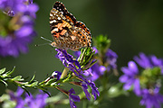 American Lady Butterfly, Bass Harbor, Maine