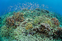 Hundreds of Anthias Schooling over healthy coral reef<br /> <br /> Shot in Indonesia