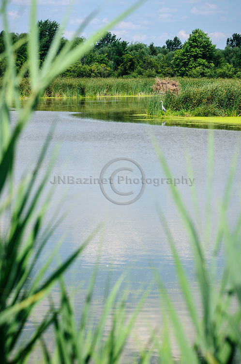 Heron on the shores of a marsh, framed by reeds