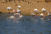 Flamingoes in Captivity wading in a shallow lake