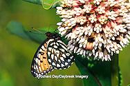 03325-00301 Regal Fritillary butterfly (Speyeria idalia) on Common Milkweed (Asclepias syriaca) Sand Prairie-Scrub Oak Nature Preserve, Mason Co.  IL