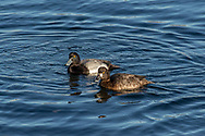 A pair of scaup float in Provincetown Harbor