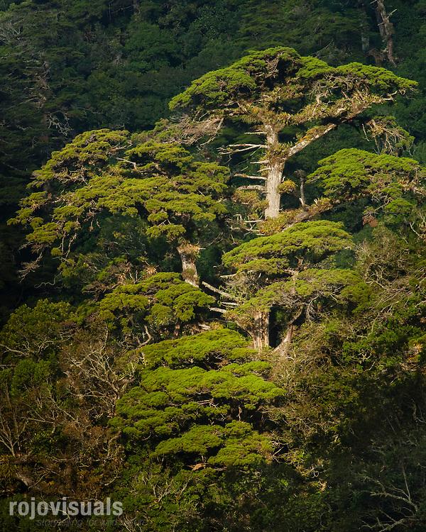 Mexican Cypress (Cupressus lindleyi), El Triunfo Biosphere Reserve, Chiapas, Mexico.<br /> <br /> Winner of the Centinelas del Tiempo photography contest - Nov 2013