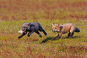 A young red fox (Vulpes vulpes) that caught a rabbit is chased by a sibling in a field in San Juan Island National Historical Park in Washington state. Red foxes were introduced to the island on various occasions in the 1900s; rabbits were introduced to the park in the late 1800s.