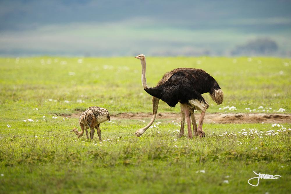 Ostridge, Common Ostridge, Massajstruts, Struthio camelus, Struthio camelus massaicus, Ostridge family, male, female, chicken, Ngorongoro Crater, Tanzania, Africa