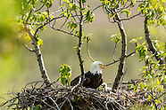 Bald Eagles - nesting