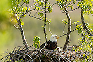 Bald Eagle (Haliaeetus leucocephalus) and chick in nest at Potter Marsh in the Anchorage Coastal Wildlife Refuge in Southcentral Alaska. Spring. Afternoon.