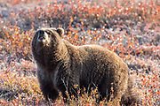 Inland Grizzly bear sniffs the air in autumn habitat.