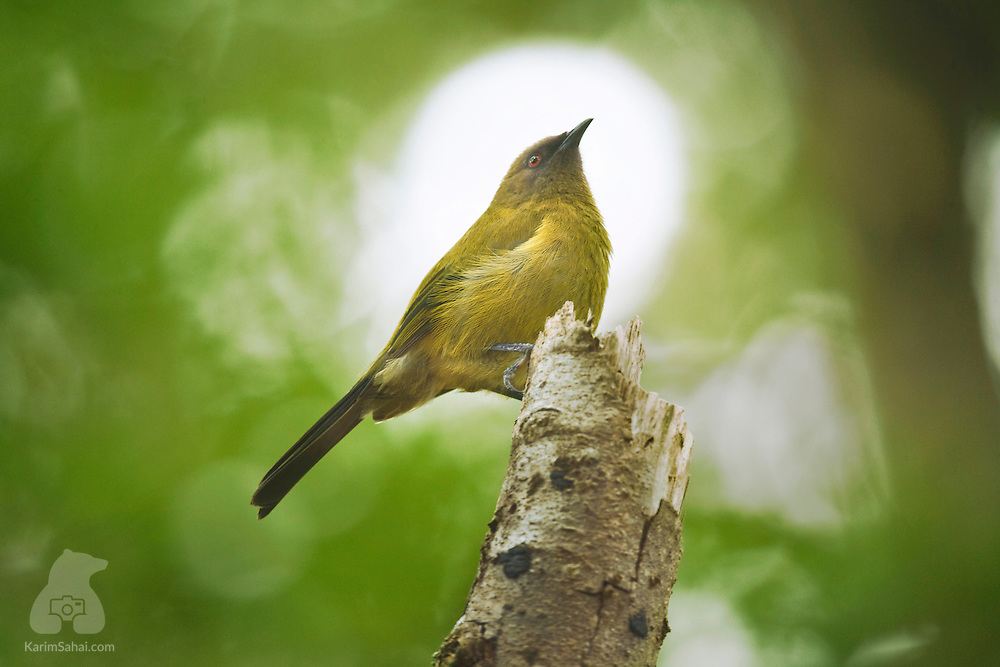 A bellbird (Anthornis melanura; korimako in Maori) in the Rimutaka forest near Upper Hutt, New Zealand. The bellbird is endemic to New Zealand and belongs to the honeyeaters family. Its song resembles that of the tui (Prosthemadera novaeseelandiae), another endemic bird of New Zealand