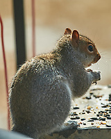 Squirrel. Image taken with a Nikon D5 camera and 600 mm f/4 VR lens