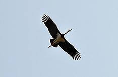 20130714 Sort Stork