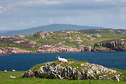 Sheep on Isle of Iona in the Inner Hebrides and Western Isles, Scotland