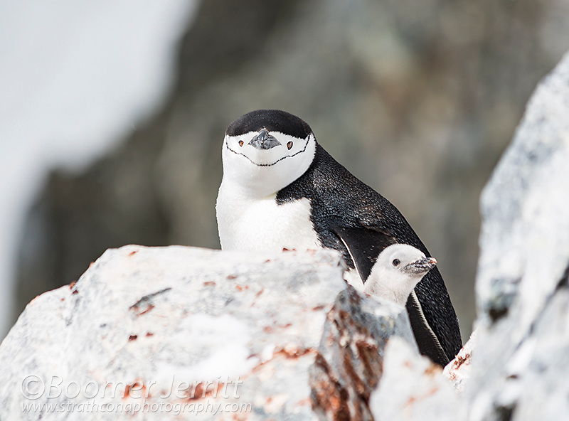 A Chinstrap Penguin and chick nest among rocks at Orne Harbor, Graham Land, The Antarctic Peninsula.