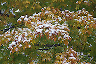 An early snow coats leaves.