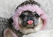 Peppermint the Pug dresses in her warmest clothes for the recent  arctic blast.