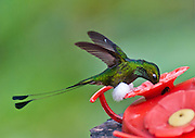 "The Booted Racket-tail (or Racquet-tail; or Racquet-tailed Hummingbird; Latin name Ocreatus underwoodii) in Bellavista Cloud Forest Reserve, Tandayapa Valley, near Quito, Ecuador, South America. Published in ""Light Travel: Photography on the Go"" book by Tom Dempsey 2009, 2010."