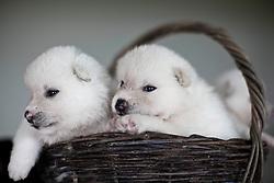 """O Akita é uma raça de cães originária do Japão. O nome foi dado em relação à província de Akita, de onde a raça é considerada originária. """"Inu"""" significa cão em japonês, e muitas vezes o animal é referido como """"Akita-ken"""" (um trocadilho, pois a palavra """"província"""" é pronunciada """"ken"""" em japonês). FOTO: Jefferson Bernardes/Preview.com"""
