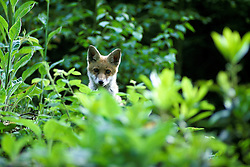 Red fox (vulpes vulpes) looks out from undergrowth and bushes in woodland near Loughborough, Leicestershire, England, UK.