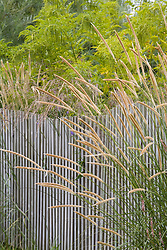Pennisetum macrourum growing through fence