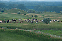 Person in field with grazing cattle, Moldova, landscape of the The Hundred Knolls hills, north west of Moldova
