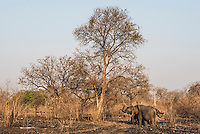 African Elphant Family bunching tightly together, Majete Wildlife Reserve, Malawi.