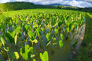 Taro fields in Hanalei Valley, Hanalei, Island of Kauai, Hawaii