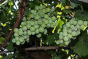 A bunch of green edible grapes on a vine Summer, June 2007