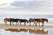 Outer Banks Wild Ponies