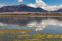 Algae growing in San Luis Lake during the autumn season.  The Great Sandunes  National Park and the Sangre De Cristo Mountains in the distance.  San Luis Lakes State Park, Colorado.