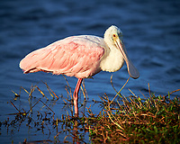 Roseate Spoonbill. Black Point Wildlife Drive, Merritt Island National Wildlife Refuge. Image taken with a Nikon D4 camera and 600 mm f/4 VR lens (ISO 160, 600 mm, f/4, 1/1250 sec).