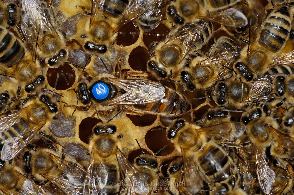 DEU, Deutschland: Biene, Honigbiene (Apis mellifera), markierte Königin umgeben von ihrem Hofstaat, die Hofstaatbienen widmen der Königin besondere Aufmerksamkeit und Pflege, Bienenstation an der Bayerischen Julius-Maximilians-Universität Würzburg | DEU, Germany: Bee, Honey-bee (Apis mellifera), queen, marked with a number on it's back, circled by special workerbees which are responsable for the welfare and care of the queen, on a honeycomb, Beestation at the Bavarian Julius-Maximilians-University Würzburg