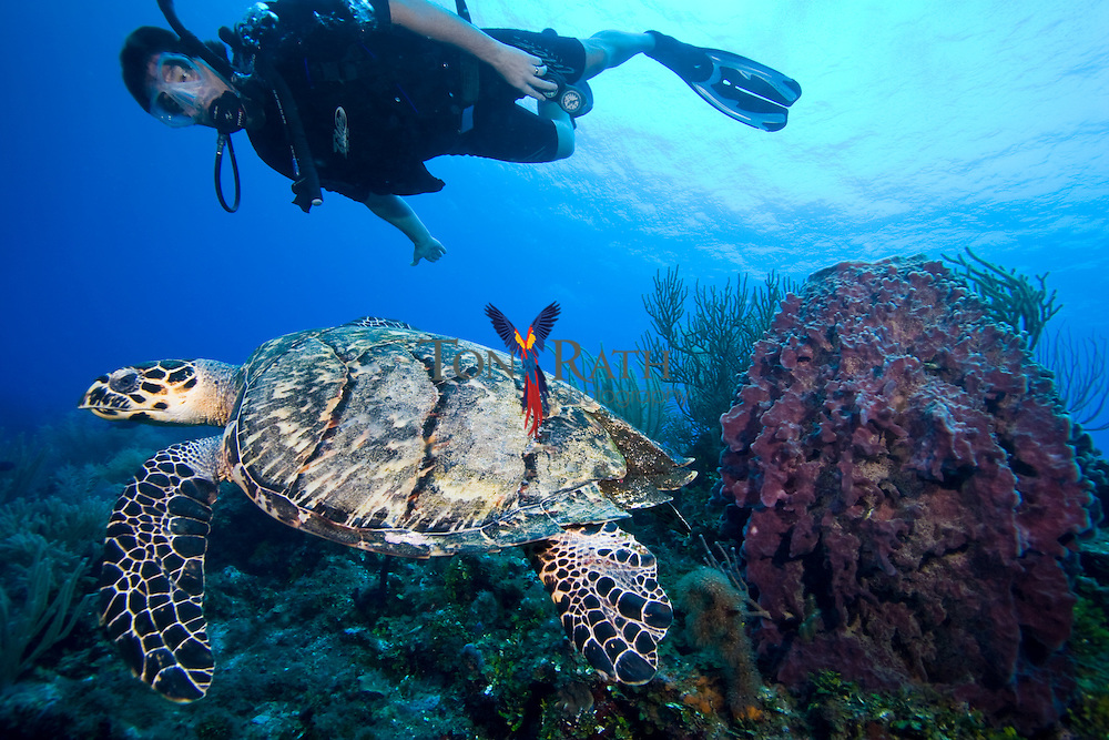 Hawksbill Turtle (Eretmochelys imbricata),and SCUBA diver swimming on the Belize Barrier Reef, South Water Caye Marine Reserve, Belize