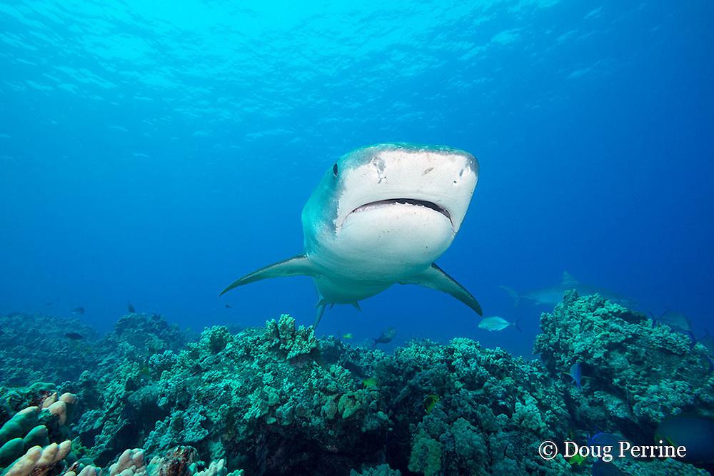 tiger sharks, Galeocerdo cuvier, swim over reef with bluefin trevally or omilu and other reef fish, Honokohau, Kona, Big Island, Hawaii, USA ( Central Pacific Ocean )