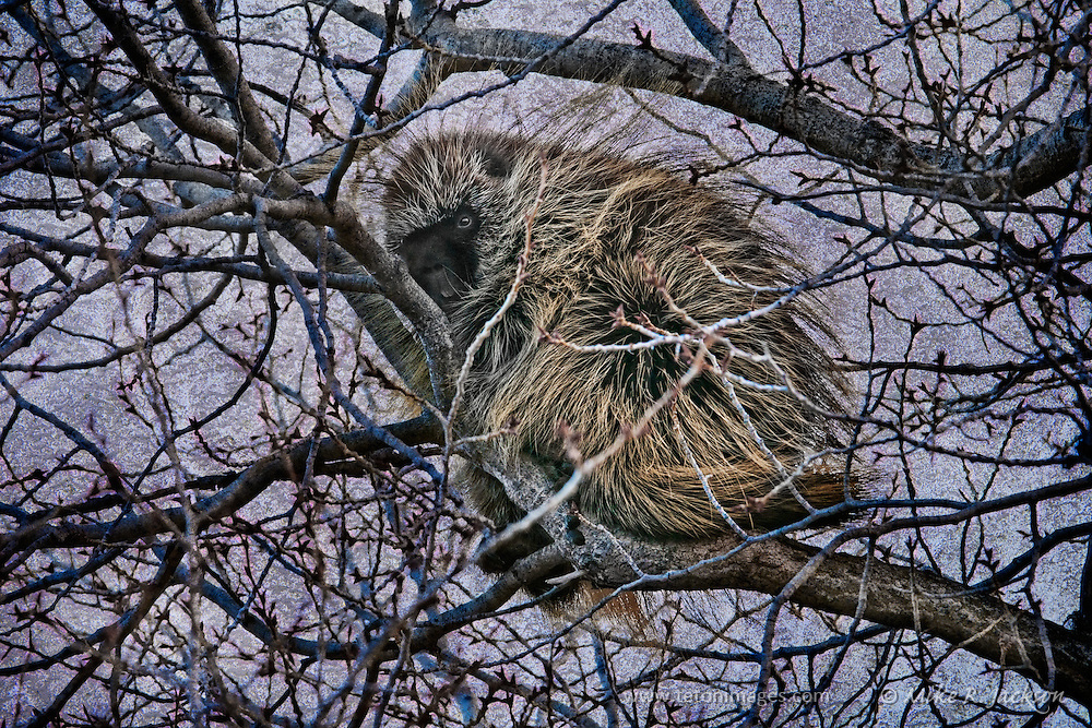 A porcupine in a tree in Grand Teton National Park, just before sunset.