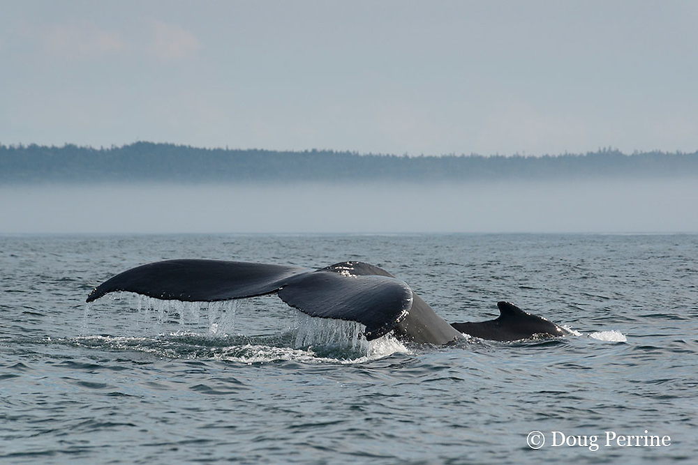 humpback whale, Megaptera novaeangliae, with calf, fluking up to dive, off Digby Neck, Bay of Fundy, Nova Scotia, Canada ( North Atlantic Ocean ); low fog bank and Long Island, Digby Neck, in background