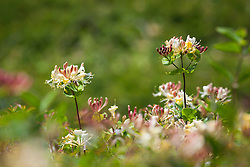Honeysuckle growing wild near The Lizard, Cornwall. Lonicera periclymenum
