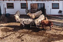 THEMENBILD - Kühe vor einem Stall, aufgenommen am 5. Feber 2018 in Zell am See - Kaprun, Österreich // Cows in front of a stable, Zell am See Kaprun, Austria on 2018/02/05. EXPA Pictures © 2018, PhotoCredit: EXPA/ JFK