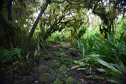Hiking trail through a Scalesia tree forest to Los Gemelos, Galapagos Islands National Park, Santa Cruz Island, Galapagos, Ecuador