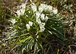 Whitish gentian found along the Savage River Trail in Denali National Park and Preserve in Alaska.