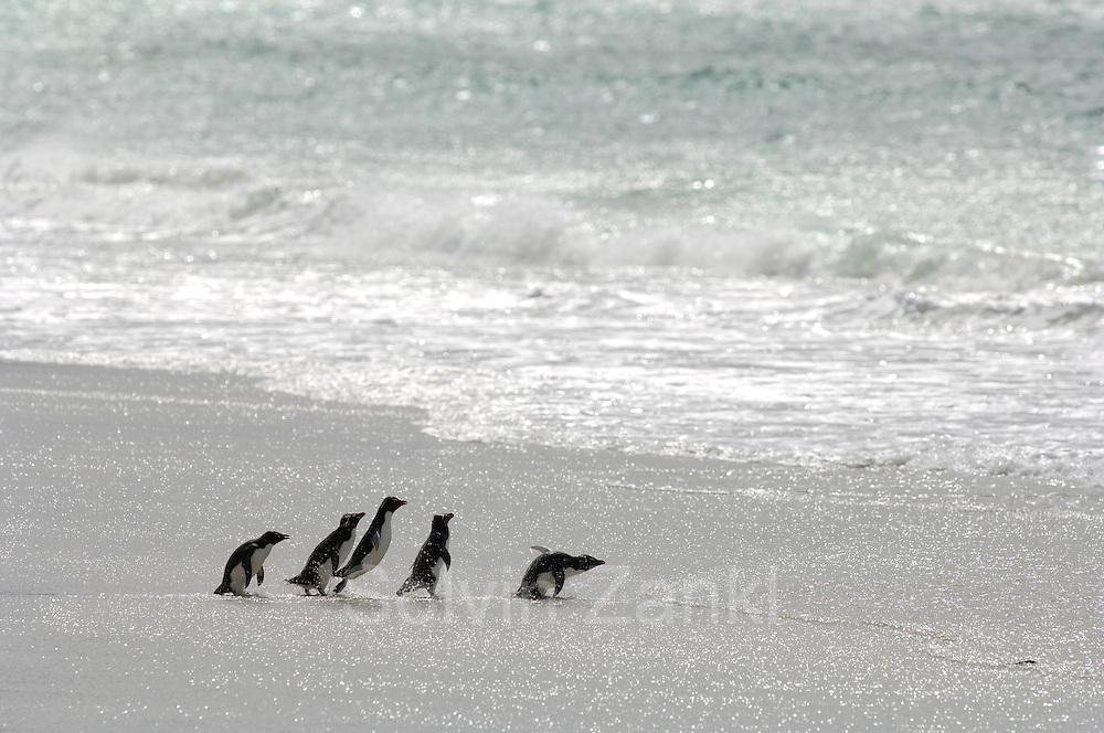 Rennen, watscheln stolpern, hüpfen: Diese kleine Gruppe Felsenpinguine (Eudyptes chrysocome) beeilt sich, unter der nächsten Welle hindurch in ihr angestammtes Element einzutauchen. Dort werden sie Nahrung für sich und ihre Küken beschaffen müssen.  Running, waddling, stumbling, hopping: This little group of rockhopper penguins (Eudyptes chrysocome) hurries to duck under in the next wave to enter their actual element. There they have to search for food for themselves and their chicks.