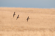 Mallards, Anas platyrhynchos, males & female, McPherson County, South Dakota