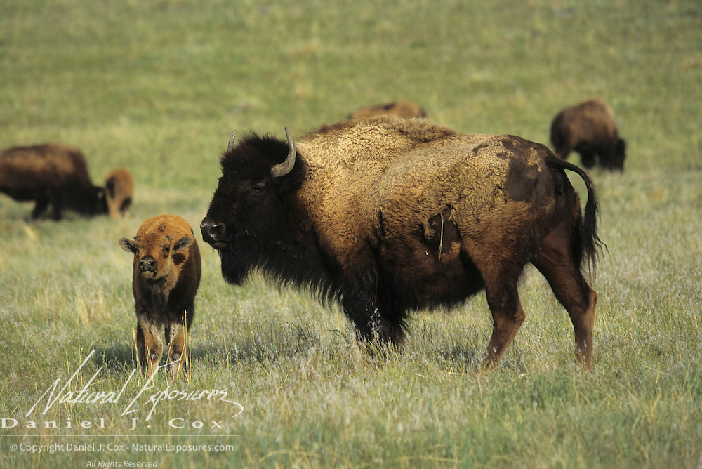 Bison (Bison bison) mother and calf on the grasslands of Montana.