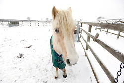 "©London News Pictures. 21/12/2010. In the past few days the UK has been focused on the disruption caused by the snow; commuters and holiday makers have been experiencing horrific delays.  Elsewhere in the country a small number of our four legged friends are having an entirely different experience.  At the Redwings charity horse sanctuary in Oxhill, Warwickshire, staff are working tirelessly to keep these horses, ponies and donkeys watered, stocked up on hay and sheltered from the elements.   .During the winter months the majority of the sixty seven residents at Redwings will be left out for the winter.  Each field has a water trough that has a tendency to freeze over in the sub zero conditions.  It is the job of Helen and Tom Glen, with their team of dedicated helpers, to keep these troughs topped up.  With the use of a small All Terrain Vehicle, Tom delivers up to eighty buckets of water and forty bales of hay across the thirty-acre site. .Founded in 2004, the sanctuary is now the largest in the UK.  The horses of Oxhill are rescued as a result from extreme cases of abuse, neglect and in some circumstances, the death of the owner.  Ex police horse 'Will Scarlett', named so after moving from Nottingham police force is spending his retirement here after suffering problems with his legs.  Due to the legalities involved with animal welfare cases all of the equines are re named on arrival.  One particular field of Shetland ponies have been named after cheeses - Edam, Gorgon and Zola, to name but a few.  .  The penalty for animal abuse in the UK, if convicted, can range from community service to prison. However, Tom states that ""We have a field of horses and ponies that were beaten with a scaffold pole and the guy only gets 5 months.  There is not enough of a deterrent to stop people being abusive to animals"".  Regardless of the their backgrounds the welfare of these horses is paramount.  The staff are passionate horsemen and women, they strive to turn each rescue into"