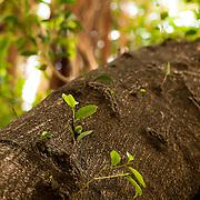 Golden Leaves Banyan, Ficus Microcarpa L.f., Tainan , Taiwan