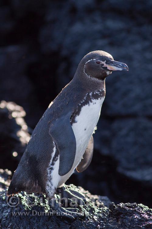 A Galapagos Penguin (Spheniscus mendiculus) near the shore of Isabela Island, Galapagos Archipelago - Ecuador.